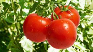 Tomatoes. Credit - kamdora.com