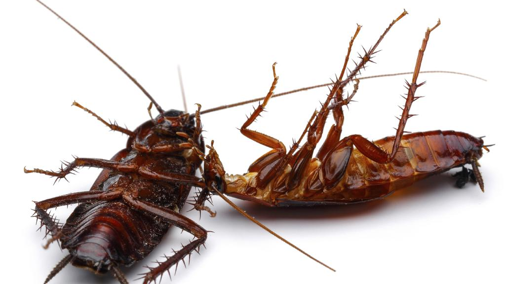 Cockroaches are pests that no one likes to see in their homes yet they somehow always manage to be there.  sc 1 st  Natural Junkie & Proven Remedies to Get Rid of Cockroaches in the Home · Natural Junkie